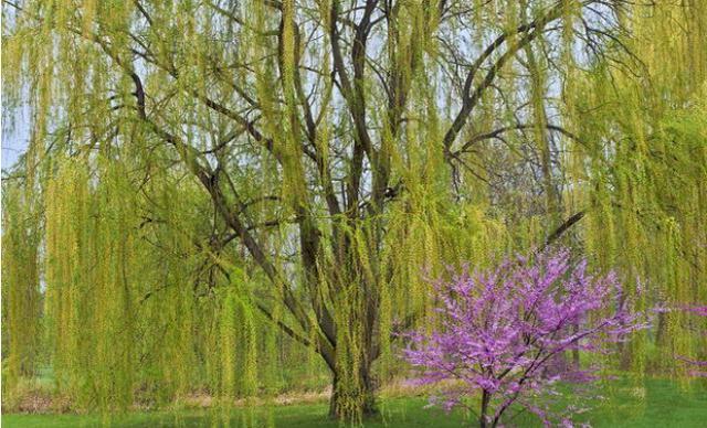 農家自建宅栽樹有講究:「前不栽桑。後不栽柳。院中不栽鬼拍手」 - 每日頭條