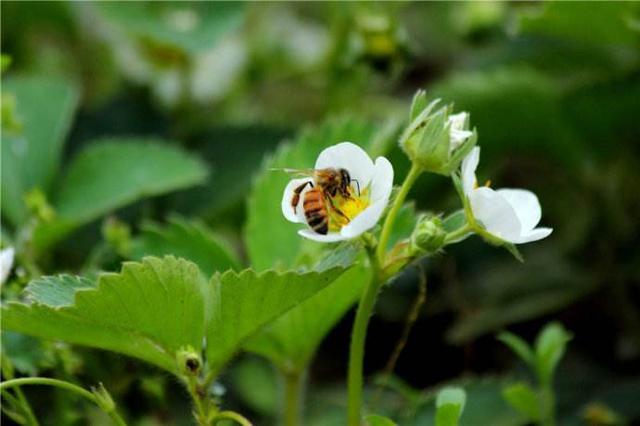 設施草莓如何使用蜜蜂授粉 - 每日頭條