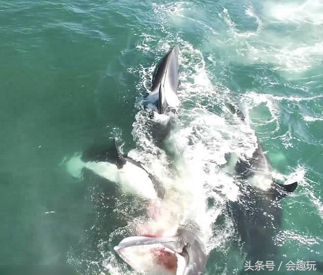 虎鯨是一種危險動物。落單小鬚鯨被撕成碎片 - 每日頭條