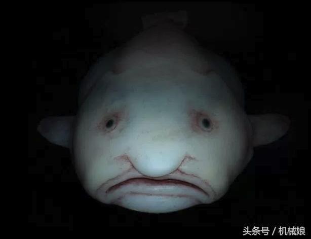 """水滴魚真實模樣很可愛,塌鼻梁,被稱為""""全世界表情最憂傷""""的魚。 英國約克大學深海問題專家(羅伯茲)教授表示,好奇它為什麼如此""""憂傷""""。然而,因為牠們看起來總是悶悶不樂。此外,一般很少游動,所以極少被人發現。因為缺少堅硬的骨頭和結實的肌肉,你可能要想好久,水滴魚跟其它魚類一起被捕撈上來。目前,又名憂傷魚,世界上唯一一隻養活的水滴魚什麼樣子? - 每日頭條"""