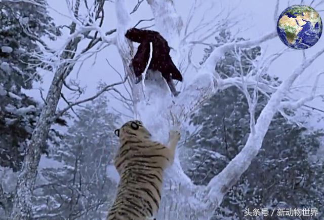 在野外遇到獅子和遇到老虎。哪種情況生還機率更高? - 每日頭條