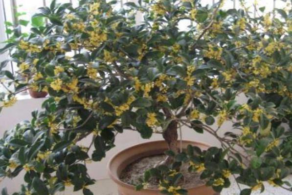 桂花盆景怎麼製作好看 盆栽桂花樹怎麼澆水 - 每日頭條