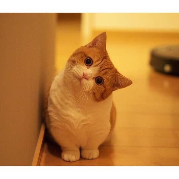 貓咪品種之小短腿 - 每日頭條