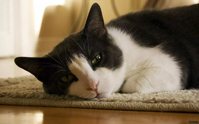 你知道貓身上長期有寄生蟲的後果嗎(驅蟲篇) - 每日頭條