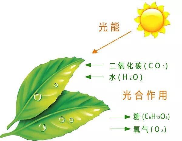 光合作用究竟是怎麼回事?影響果樹光合作用的因素有哪些 - 每日頭條