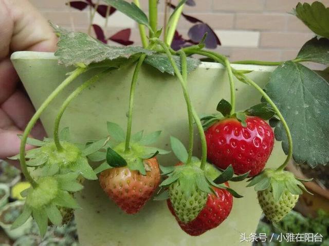 不用買種子,吃草莓的時候就可以播種,照樣能結出大果實 - 每日頭條