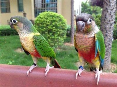 小太陽鸚鵡究竟該怎麼養! - 每日頭條