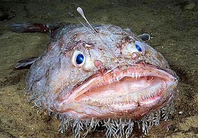 海洋里的鮟鱇魚。長相雖然醜陋嚇人。但端上飯桌的它鮮嫩肥美 - 每日頭條