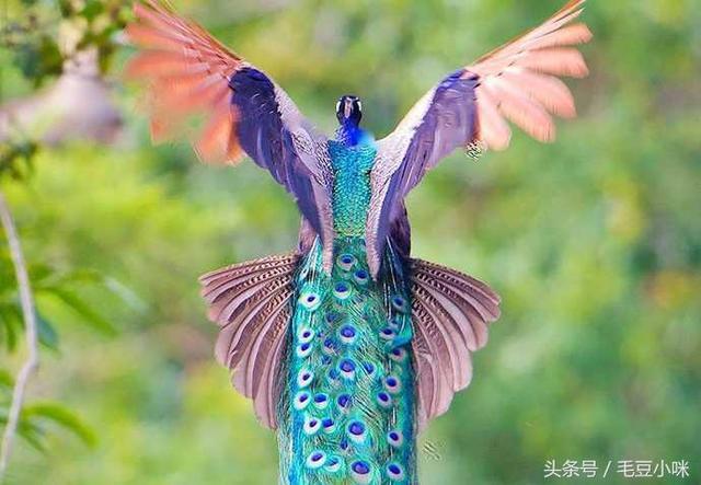 攝影師抓拍飛行中的孔雀。場景讓人驚呼:這就是鳳凰! - 每日頭條