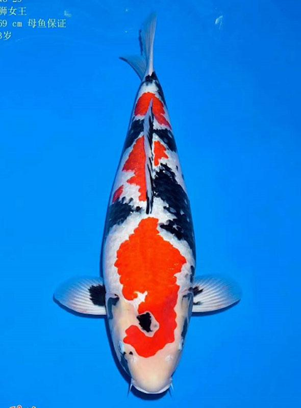錦鯉魚爛鰭爛肉該怎麼治呢?「海鹽」 萬能藥? - 每日頭條