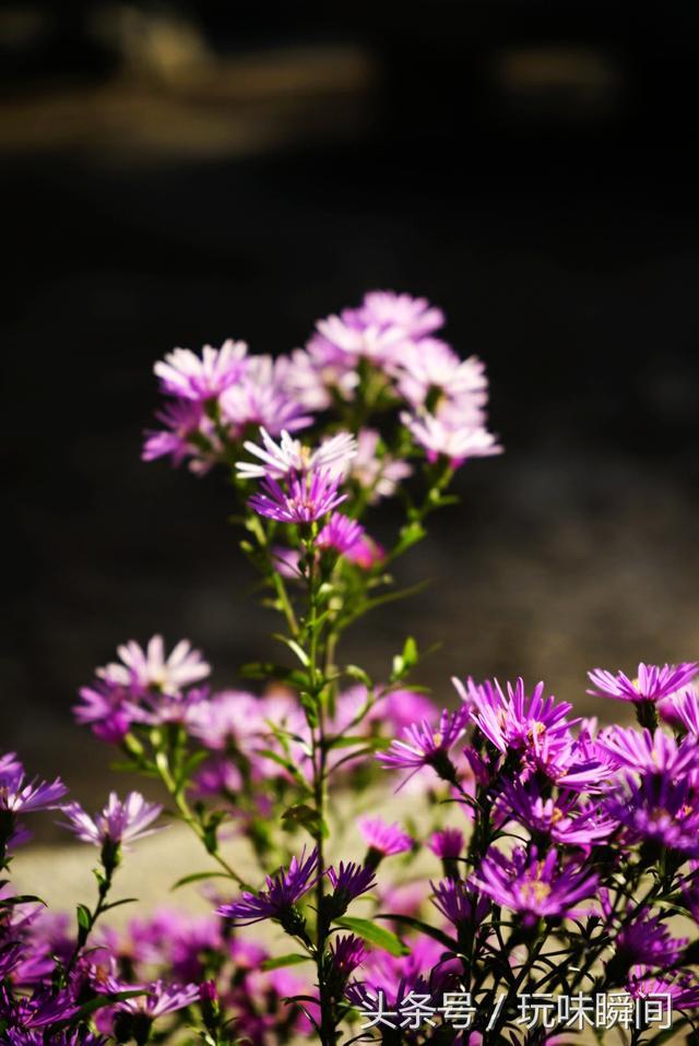 與菊花極為相似。實為紫菀。冷艷平靜。別名:青苑、紫倩、小辮等 - 每日頭條