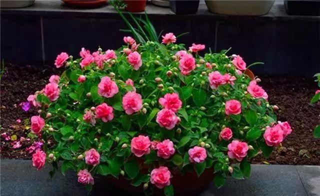 重瓣鳳仙花,花開美過茶花,一年四季有花開,輕鬆養爆盆! - 每日頭條