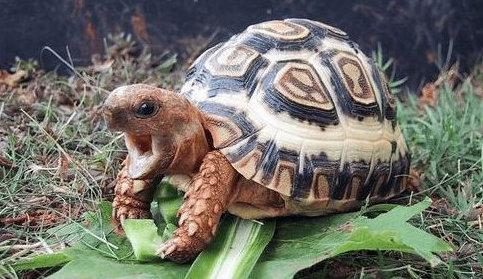 地球上10大難養的陸龜。印度星龜居榜首。你有養過一種嗎? - 每日頭條