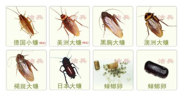 滅蟑螂簡單有效的方法 - 每日頭條