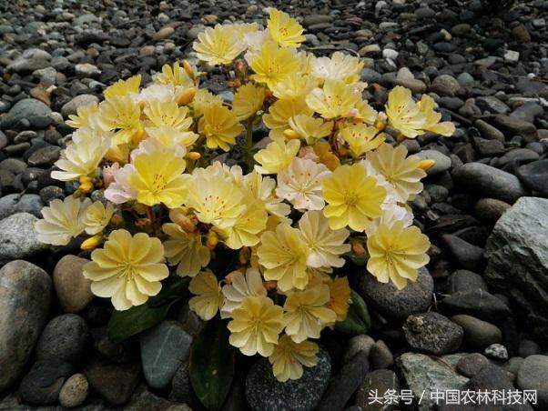 春天的童話——露薇花的栽培技術 - 每日頭條