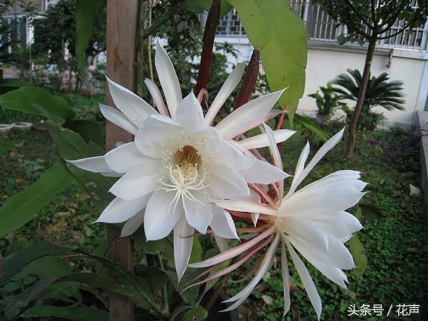 「曇花一現」的曇花,原來是這種仙人掌,被譽為「月下美人」 - 每日頭條
