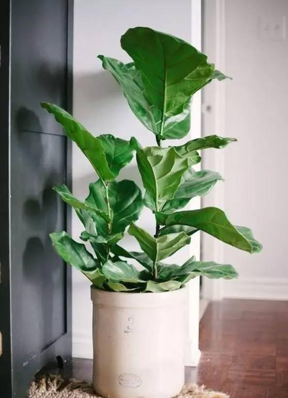 適合室內養護的9種大型盆栽。你家養了哪種? - 每日頭條