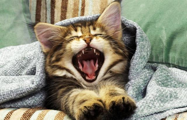 貓咪口臭應該如何處理? - 每日頭條