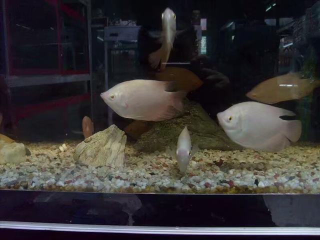 最受新魚友歡迎的二十種熱帶觀賞魚都有哪些呢? - 每日頭條