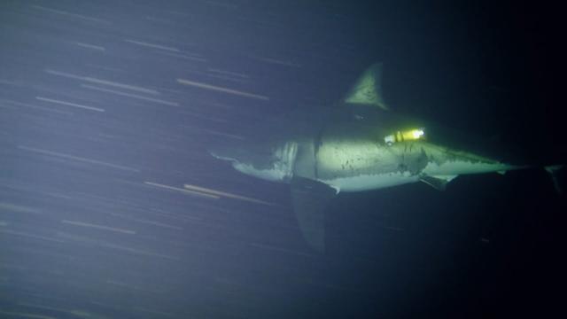 潛水員水底拍攝兇猛大鯊魚睡覺萌態,不能停止遊動否則將窒息而亡 - 每日頭條