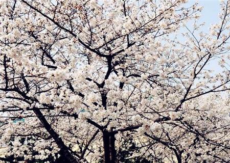 櫻花什麼時候開花?能持續多久?附2018年全國櫻花開放時間表 - 每日頭條