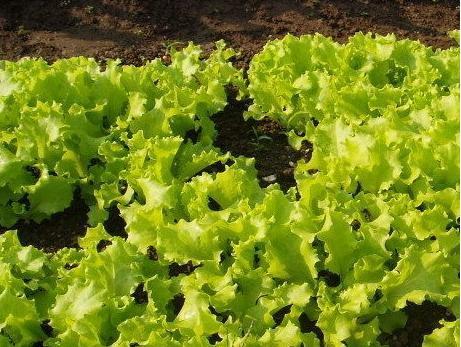 夏季種植散葉生菜的8個步驟 - 每日頭條