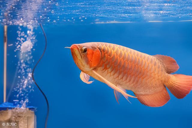 養龍魚有哪些風水講究?很多值得注意的地方。別說我沒告訴你 - 每日頭條