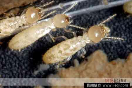 寺廟翻修地下挖出白蟻 蟻后已超過40歲 - 每日頭條