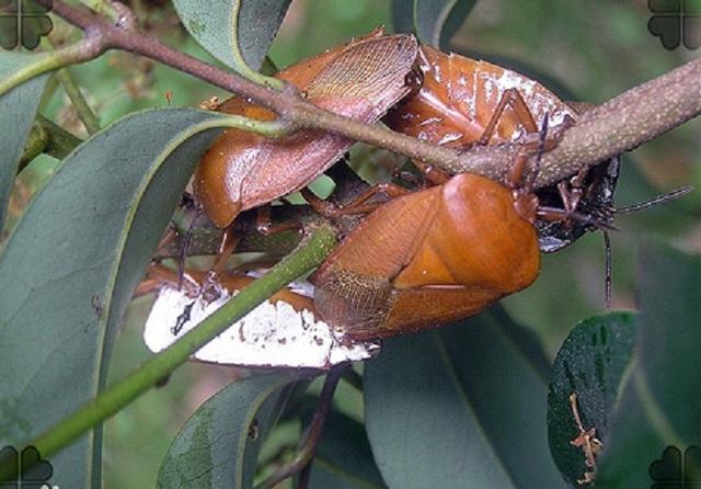 荔枝樹的臭屁蟲原來叫荔枝蝽。你知道嗎 - 每日頭條