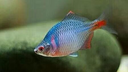 最為常見的兩種原生魚。即使在北方河流中。也能夠看到它們的身影 - 每日頭條