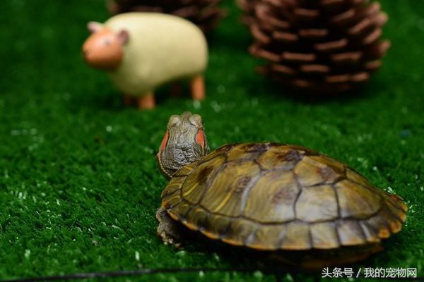 寵物龜的種類繁多。新手養龜必須要了解這些知識 - 每日頭條