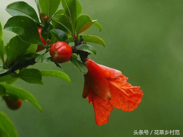 石榴花的種植與養護 - 每日頭條
