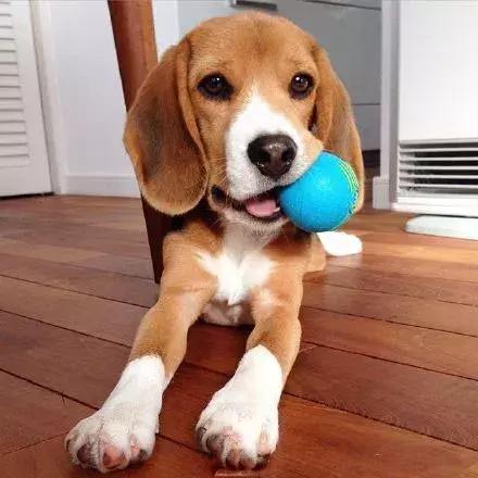 每日一寵 比格犬 - 每日頭條