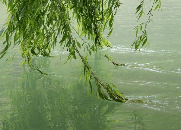 柳樹在我們生活中很常見。但很多人對柳樹卻不了解 - 每日頭條