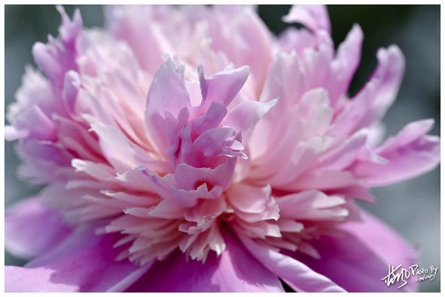 「芍藥比容花比貌。暖煙如粉草如茵」 一組精美的芍藥美圖 - 每日頭條