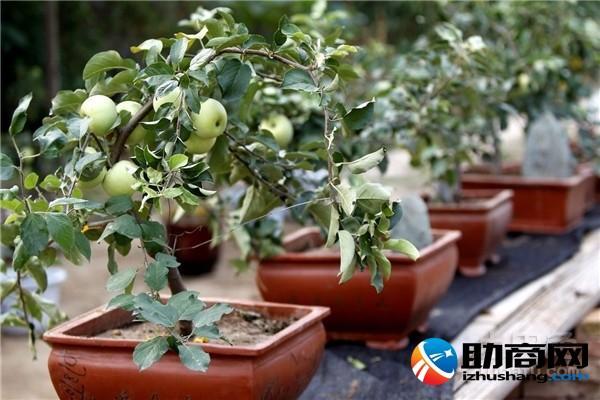 蘋果盆栽的養殖方法介紹 - 每日頭條
