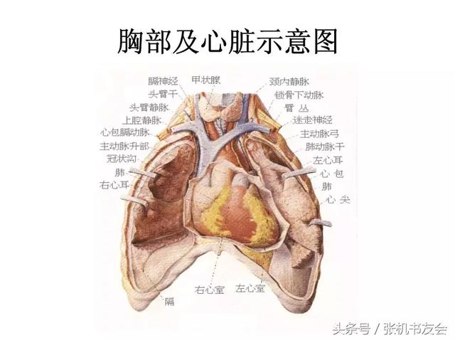 人體內臟解剖圖 - 每日頭條