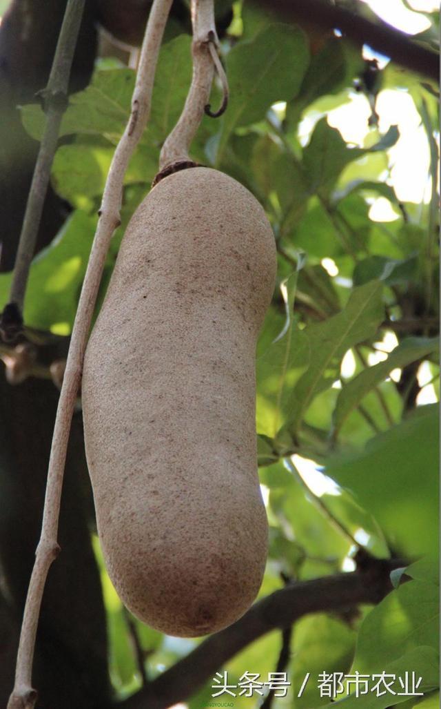 香腸樹,世界上最奇怪的樹! - 每日頭條