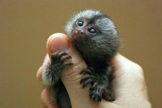 它是世界上最小的猴子。在亞馬遜流域穿梭——狨猴 - 每日頭條