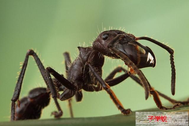 咬人最痛的螞蟻,也是世界上體形最大的螞蟻種類之一——子彈蟻 - 每日頭條