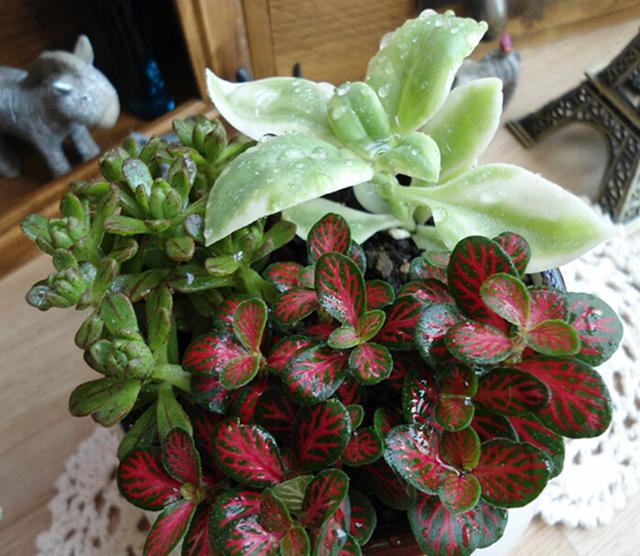 每日一花:花語理性睿智的網紋草,也是處女座守護的植物 - 每日頭條