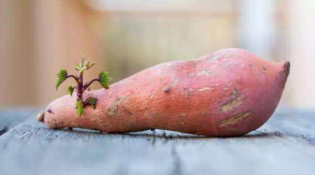 紅薯發芽了還能吃嗎?真相讓人驚訝! - 每日頭條