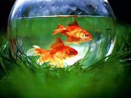 你知道這些嗎: 風水魚都有哪些? - 每日頭條