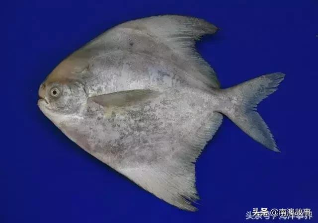 你經常吃的中小型海魚,你都知道名字嗎? - 每日頭條