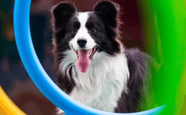 怎麼辨別狗狗的發情期。狗狗的交配方法及注意事項! - 每日頭條