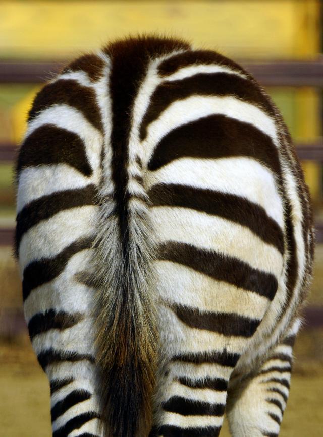 優雅的斑馬到底是黑底白紋還是白底黑紋? - 每日頭條