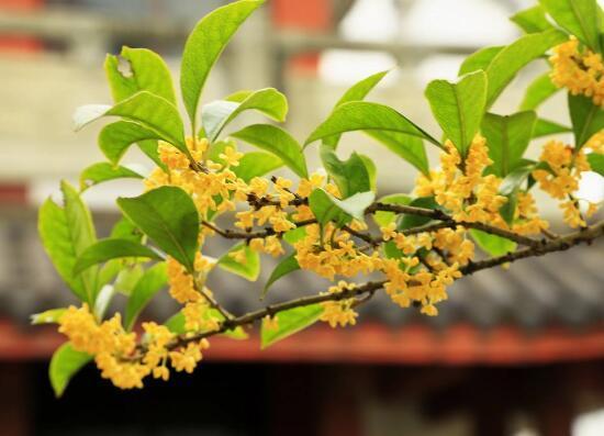 盆栽桂花掉葉子怎麼辦,4種方法讓桂花樹枝繁葉茂 - 每日頭條