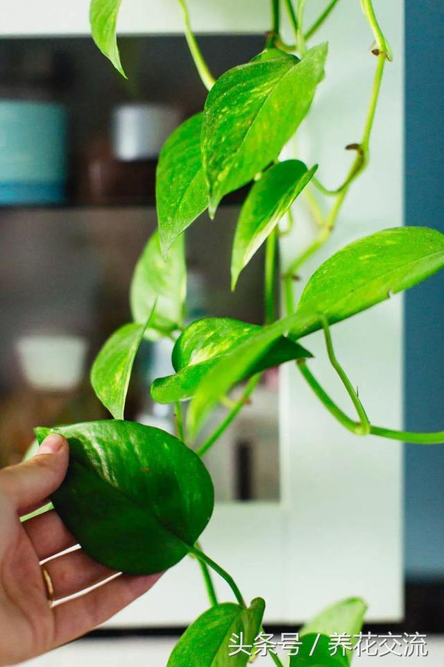 7種適合四季養在室內的熱帶植物。新手也養不死的盆栽 - 每日頭條