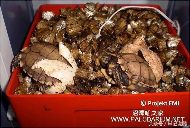 瀕危的中國原生凹甲陸龜,卻被歐洲人成功繁育 - 每日頭條