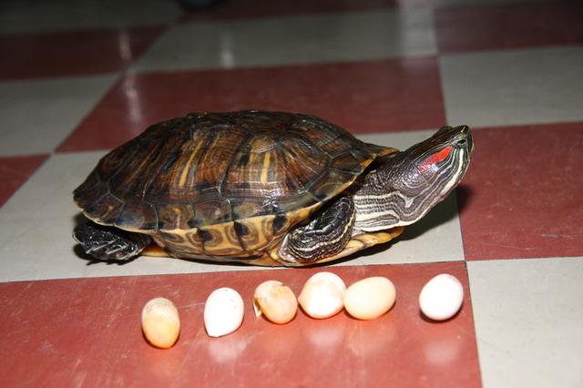 世界最危險入侵物種之一:巴西紅耳龜令人頭疼 - 每日頭條